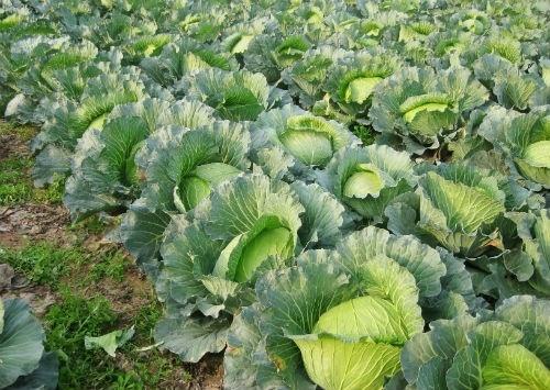 ăn rau bắp cải rất tốt